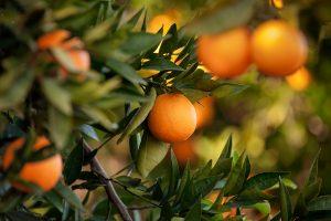 Gin botanicals citrus